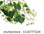 blossoming twig of linden with... | Shutterstock . vector #1110777224