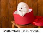 Little Pomeranian Spitz Dog...
