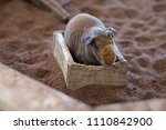 hairless cavy in the wooden tray | Shutterstock . vector #1110842900