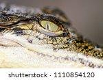 close up of juvenile saltwater... | Shutterstock . vector #1110854120