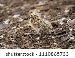 seagull chicks are doing their... | Shutterstock . vector #1110865733