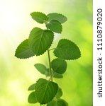indian borage   plectranthus... | Shutterstock . vector #1110879020
