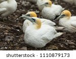 gannets colony. bass rock.... | Shutterstock . vector #1110879173