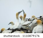 gannets colony. bass rock.... | Shutterstock . vector #1110879176