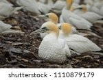 gannets colony. bass rock.... | Shutterstock . vector #1110879179