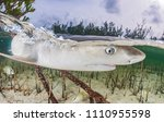 a juvenile lemon shark is... | Shutterstock . vector #1110955598