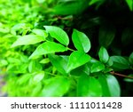 green leafs for background  ... | Shutterstock . vector #1111011428