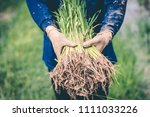 men being transplant rice... | Shutterstock . vector #1111033226