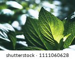 green leaves against sunshine... | Shutterstock . vector #1111060628