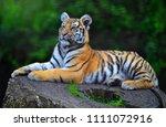 tiger of siberia   Shutterstock . vector #1111072916