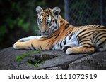 tiger of siberia   Shutterstock . vector #1111072919