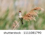 great reed warbler singing on... | Shutterstock . vector #1111081790