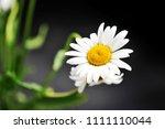 daisy flower on a dark...   Shutterstock . vector #1111110044