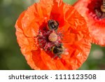 Flower Of Red Poppy And...