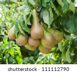 Conference Pears Hanging On A...