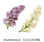 set of lilac flowers isolated... | Shutterstock . vector #1111141586