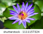 waterlily or lotus in pond | Shutterstock . vector #1111157324