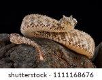 the spider tailed horned viper  ... | Shutterstock . vector #1111168676