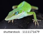 The Carolina Anole  Anolis...