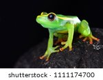 riggenbach's reed frog ... | Shutterstock . vector #1111174700