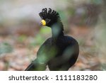 bare faced curassow  in a... | Shutterstock . vector #1111183280