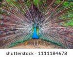 beautiful bird peacock | Shutterstock . vector #1111184678
