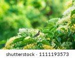 small bird on the tree. flowers ... | Shutterstock . vector #1111193573