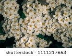 above fresh white flowers in... | Shutterstock . vector #1111217663