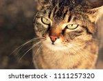 cute animal portrait of a cat... | Shutterstock . vector #1111257320