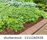 green leafy garden plants in a... | Shutterstock . vector #1111260428