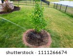 watering a newly planted maple... | Shutterstock . vector #1111266674