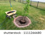 planting a new young maple tree ... | Shutterstock . vector #1111266680