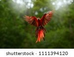 red in forest. macaw parrot... | Shutterstock . vector #1111394120