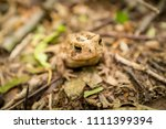 macro grumpy eastern american... | Shutterstock . vector #1111399394