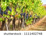 red bunches of grapes in the... | Shutterstock . vector #1111402748