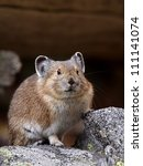 Small photo of American Pika, Ochotona princeps, in rocky habitat, Okanogan / Wenatchee National Forest, Cascade Mountains, Washington, USA; Pacific Northwest wildlife / nature / outdoors