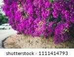 Purple Blooming Bougainvillea...