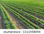 peanuts in the field  lush... | Shutterstock . vector #1111458044