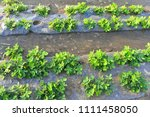 peanuts in the field  lush... | Shutterstock . vector #1111458050