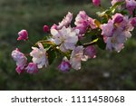 chinese flowering crab apple in ... | Shutterstock . vector #1111458068