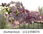chinese flowering crab apple in ... | Shutterstock . vector #1111458074
