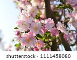 chinese flowering crab apple in ... | Shutterstock . vector #1111458080