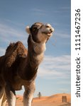 Single Camel In The Saharan...
