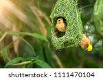 nature of wildlife   weaver... | Shutterstock . vector #1111470104