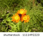 Small photo of Orange Hawkweed wildflowers. While considered an invasive species by many, the beauty of these little blossoms is undeniable. The small flowers, much like little sunbursts, radiate the full spectrum.