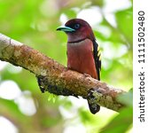 beautiful bird  banded...   Shutterstock . vector #1111502480