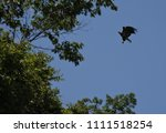 juvenile bald eagle in flight | Shutterstock . vector #1111518254