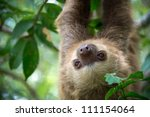 Two Toed Sloth Hanging From A...