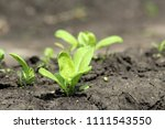young sprout in springtime ... | Shutterstock . vector #1111543550