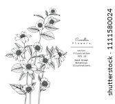 sketch floral botany collection.... | Shutterstock .eps vector #1111580024